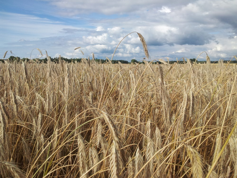Hybridirukiin viljelyohje