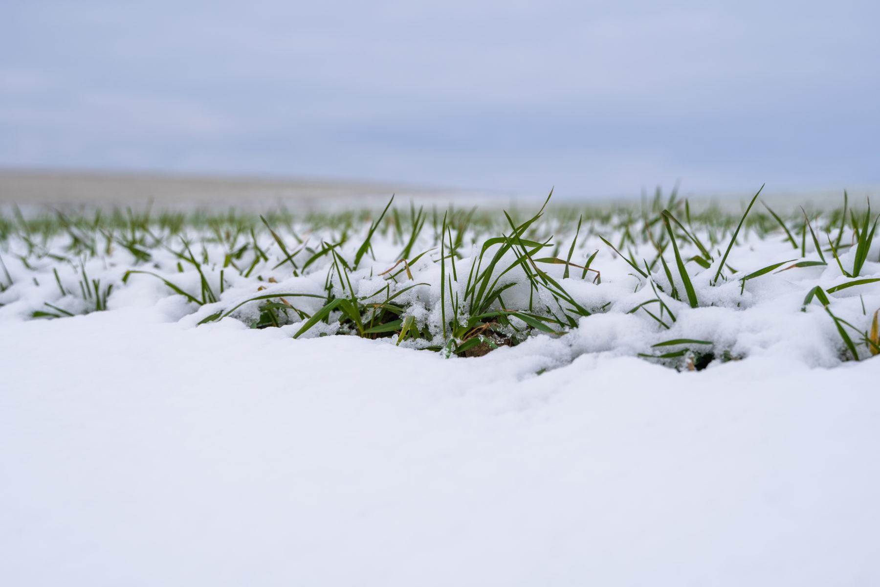 Jääpolte tekee tuhojaan – varaudu täydennyskylvöihin ajoissa