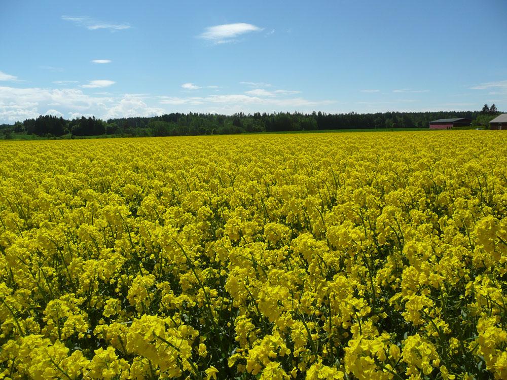 Panosta tilan viljelykiertoon ja kannattavuuteen Borealin uusilla kevätrapseilla