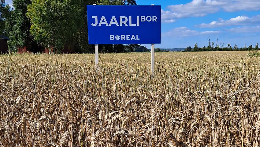 Monipuolinen viljelyohjelma siivitti Jaarli-vehnän hyvään kasvuun