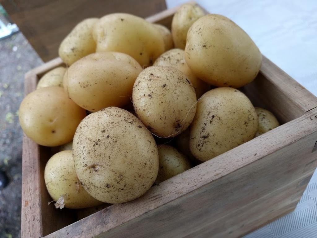 Jussi-peruna tuottaa uusia perunoita juhannukseksi – aloita omien ämpäriperunoiden kasvatus nyt!
