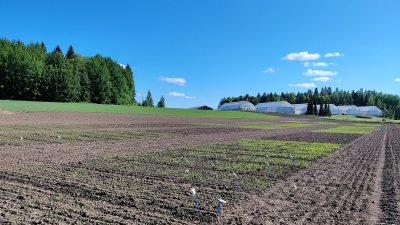 Mitkä Borealin kauralajikkeista soveltuvat parhaiten luomuviljelyyn?