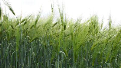 Borealin kasvinjalostusohjelmat tukevat luomutuotantoa