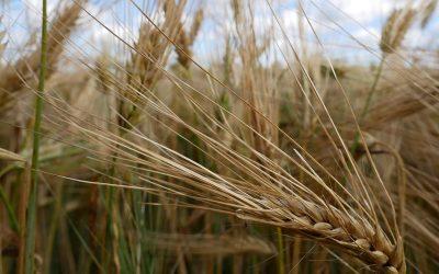 Kasvinjalostus kehittää lajikkeita vaihteleviin kasvuoloihin – Borealin kauden uutuudet esillä KoneAgriassa