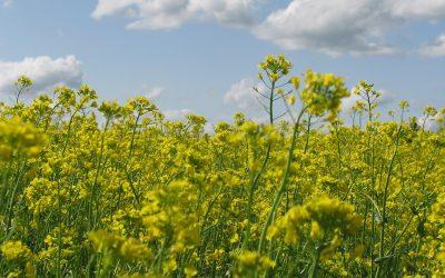 Kevätrypsi on koko Suomen kasvi