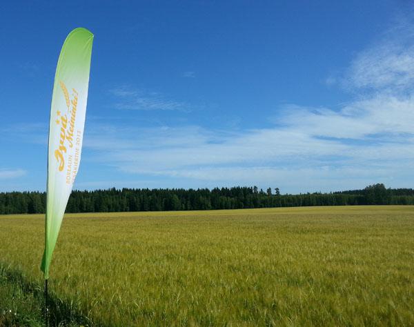 Toukokuun alkupuolella kylvetty Trekker on hyvässä kasvussa Kalle Sipilän tilalla Hollolassa.