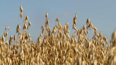 Herne ja kaura viljelyalojen kiihdytyskaistalla, Niklasta neljännes koko kaura-alasta
