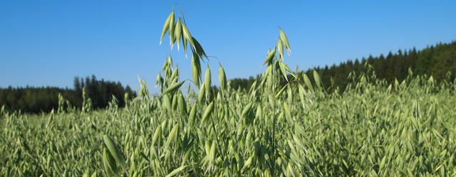 Steinar-kaura tuottaa huippusatoja lujassa korressa