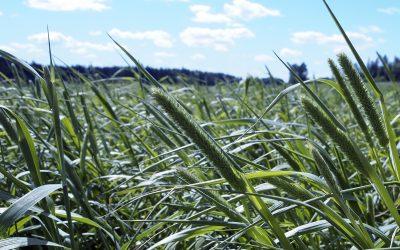 Mitä, milloin ja kuinka paljon – nurmentuotannossa tuotantotavoite määrittelee kaiken